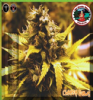 Big Buddha Cheese Dawg Female 10 Cannabis Seeds